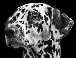 dalmatians-765138_1280